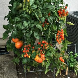 triple grafted tomatos