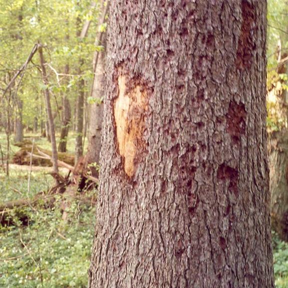 bark beetle tree damage