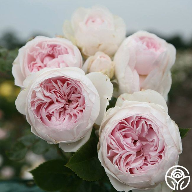 earth angel roses