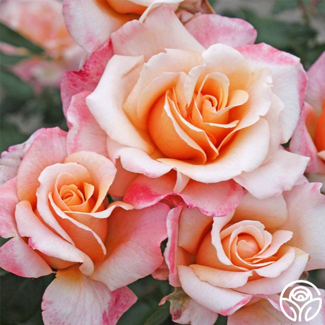 oh happy day roses
