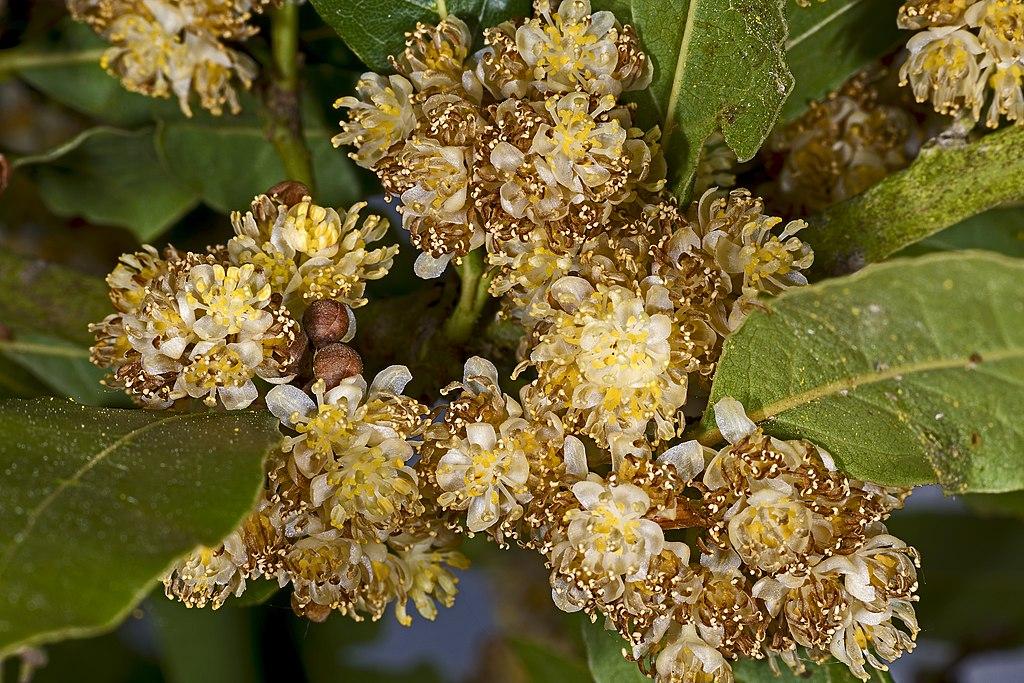 Laurus nobilis MHNT Fleurs