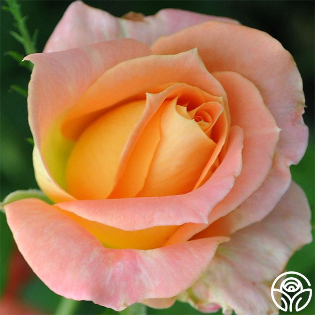 Yankee Doodle Roses
